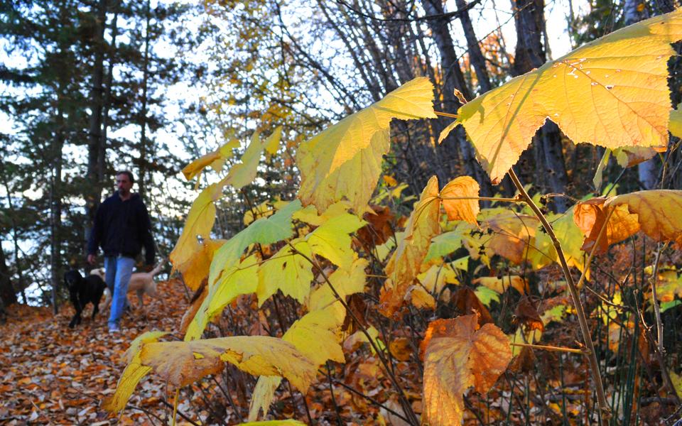Thimbleberry leaves